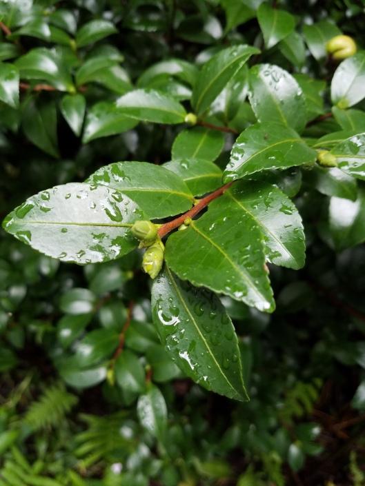 White Dove Camellia bud