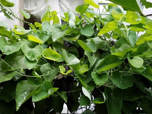 Aristolochia littoralis, Aristolochia elegans Family: Aristolochiaceae Elegant Dutchmans Pipe, Calico Flower