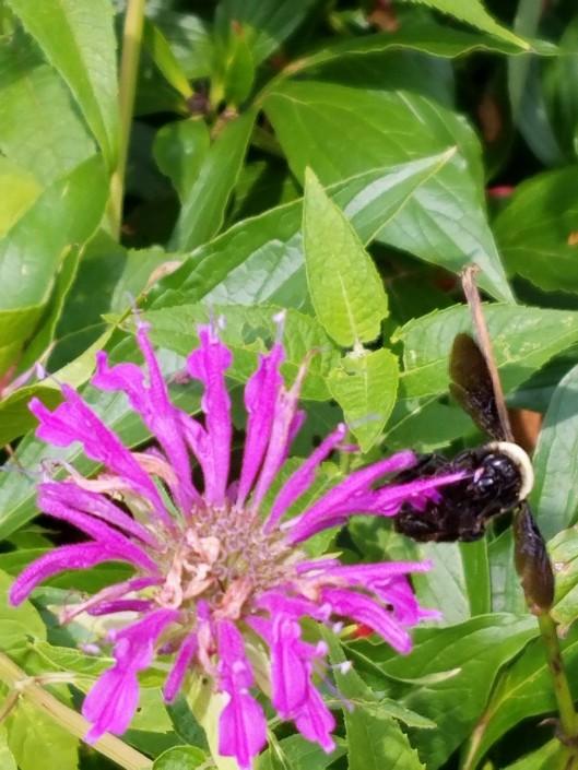 Bee on Mondard